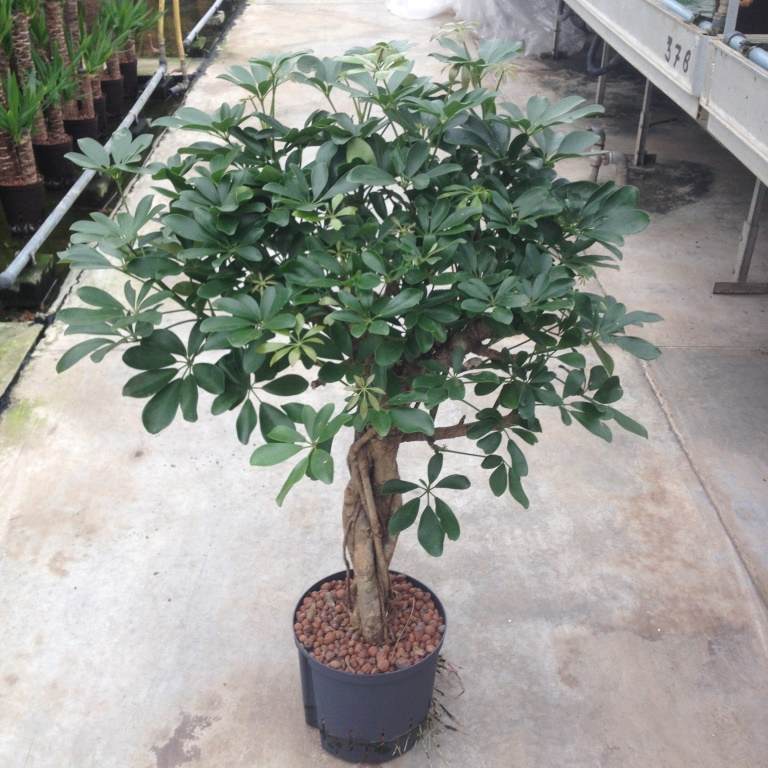 Schefflera compacta bonsai stamm 22 19 h90 decofora for Bonsai hydrokultur