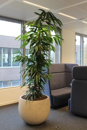 Mix stone ficus amstel king 2 comp